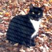 black and white cat lost in coventry,ct