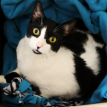 black and white cat missing from new haven, connecticut